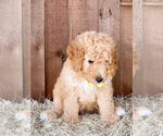 Small #4 Goldendoodle (Miniature)