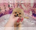 Small #3 Pomeranian