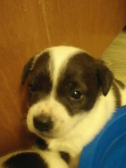 Parson Russell Terrier Puppy for sale in PORTLAND, OR, USA