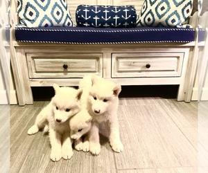Alaskan Malamute Puppy for sale in EL PASO, TX, USA