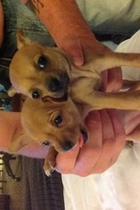 Chihuahua Puppy For Sale in BELLE VERNON, PA