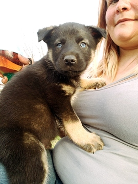 Photo 1 Of Listing Norwegian Elkhound