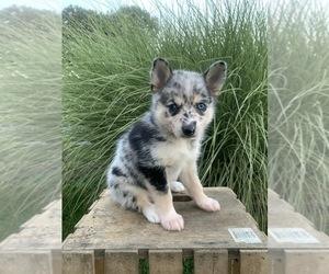 Huskimo-Pomeranian Mix Puppy for Sale in LITITZ, Pennsylvania USA