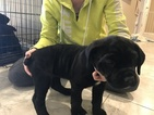 Cane Corso Puppy For Sale in AZTEC, NM, USA