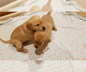 Labrador Retriever Puppy for sale in NEW STANTON, PA, USA