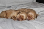 AKC Golden Retriever Puppies