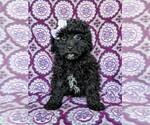 Small Poodle (Miniature)