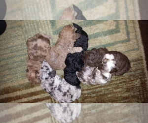 Australian Shepherd-Poodle (Toy) Mix Puppy for sale in TAMPA, FL, USA