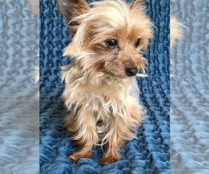 Yorkshire Terrier Puppy for Sale in STAFFORD SPRINGS, Connecticut USA