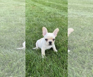 French Bulldog Puppy for sale in W CHESTER, PA, USA
