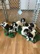 English Springer Spaniel Puppy For Sale in HEATH, OH, USA