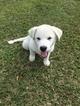 Wolf Hybrid Puppy For Sale in ROYAL PLM BCH, FL, USA