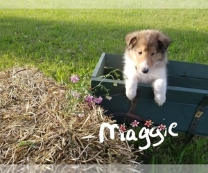 Collie Puppy for Sale in IONIA, Michigan USA