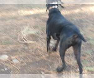 German Shorthaired Pointer Dog for Adoption in CHENEY, Washington USA