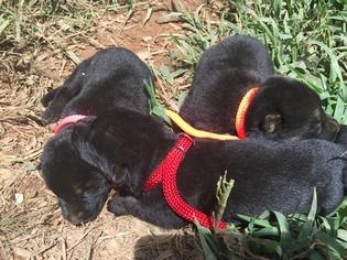 German Shepherd Dog Puppy For Sale in MURPHY, NC