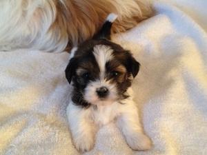Shih Tzu Puppy For Sale in BLOOMFIELD HILLS, MI