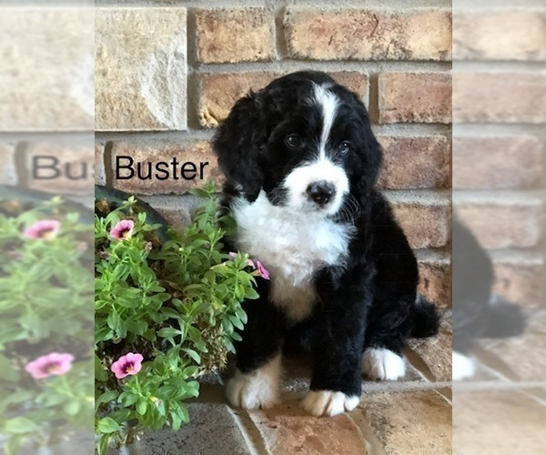 Puppyfindercom View Ad Photo 10 Of Listing Bernedoodle