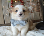 Small Pembroke Welsh Corgi