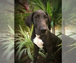 Small #2 Great Dane