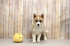 Pomsky Puppy For Sale in PORTSMOUTH, OH, USA