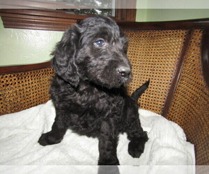 Labradoodle Puppy for sale in CHICAGO, IL, USA