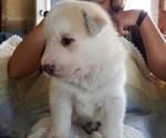 Puppy 2 German Shepherd Dog-Siberian Husky Mix