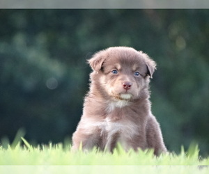 Australian Shepherd Puppy for Sale in OZARK, Arkansas USA