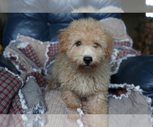 Poochon Puppy for Sale in DUNDEE, Ohio USA