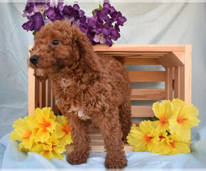 Poodle (Miniature) Puppy for sale in MILLERSBURG, OH, USA