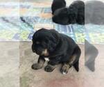 Small #7 Tibetan Mastiff