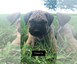 Bullmastiff Puppy for sale in BOMBAY, MN, USA