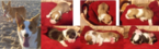 Pembroke Welsh Corgi Puppy For Sale in DEARBORN HEIGHTS, MI