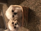 Shih Tzu Puppy For Sale in PLYMOUTH, MI, USA