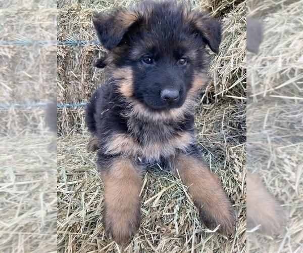 Medium Photo #1 German Shepherd Dog Puppy For Sale in WALLA WALLA, WA, USA