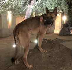 German Shepherd Dog to Adopt in Escondido CA