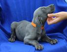 Weimaraner Puppy For Sale in HARRISON, AR, USA