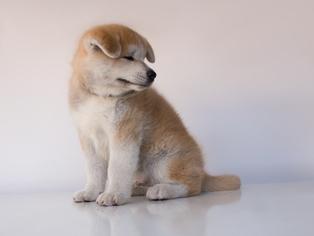 Akita Puppy For Sale in POMPANO BEACH, FL, USA
