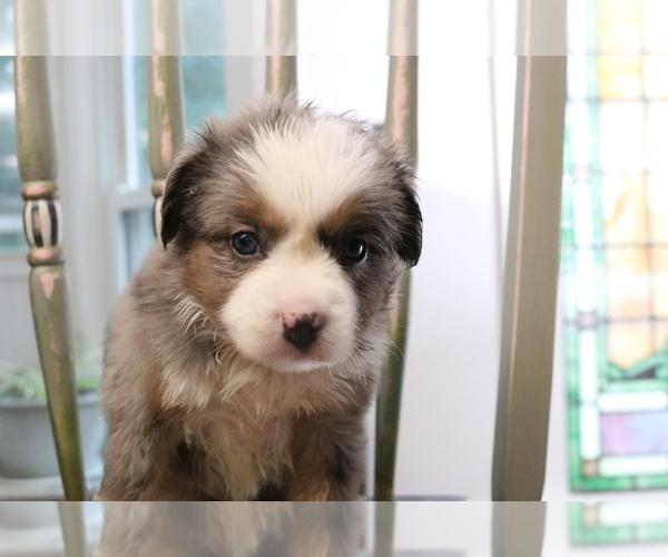 Medium Photo #13 Australian Shepherd Puppy For Sale in STAFFORD, VA, USA