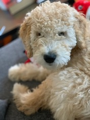 Goldendoodle Puppy For Sale in ATL, GA, USA