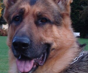 German Shepherd Dog Dog for Adoption in SHELTON, Washington USA