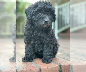 Poodle (Toy) Puppy for sale in MALVERN, AR, USA