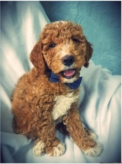 Goldendoodle Puppy for sale in BIG RAPIDS, MI, USA