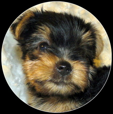 Yorkshire Terrier Puppy For Sale in STATHAM, GA, USA