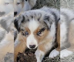 Australian Shepherd Puppy for Sale in WILLISTON, Florida USA