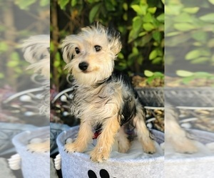 Morkie Puppy for Sale in LOS ANGELES, California USA