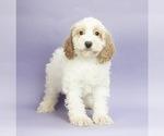 Puppy 3 Cocker Spaniel-Poodle (Miniature) Mix