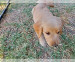 Small #17 Golden Retriever