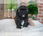 Small #6 Poodle (Miniature)-Shorkie Tzu Mix