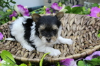 Small #2 Biewer Terrier