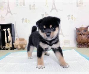 Shiba Inu Puppy for sale in MONTEREY PARK, CA, USA
